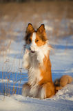 Red dog funny portrait in winter Stock Images