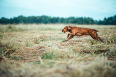 Red dog in the grass Stock Photos