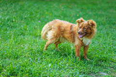 Red dog royalty free stock photography