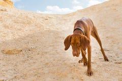 Ginger dog. Stock Photo