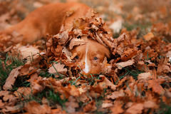 Red dog hiding in the leaves, Nova Scotia Duck Tolling Retriever in a park. In autumn royalty free stock image