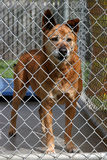 A red dog in his cage at the animal shelter. Waiting to be adopted stock photography