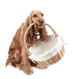 Red dog holding a basket Royalty Free Stock Images