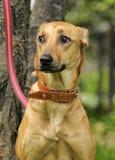 Red dog hound Stock Photos