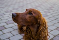 Red dog Irish Setter looks closely that they will tell her stock photo