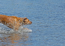 Red Dog Jumping In To Water. A big golden red dog jumping in to the blue water making a big splash royalty free stock image