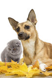 Red dog and kitten Stock Photography