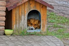 Red dog lies and looks in a wooden doghouse on the sidewalk. One red dog lies and looks in a wooden doghouse on the street on the sidewalk royalty free stock image