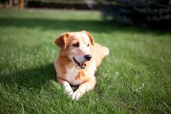 Red dog lying on the grass stock photography