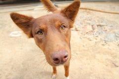 Red dog looking at camera Stock Image