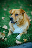 Red dog lying on the grass Stock Images