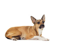 Red dog lying Stock Image