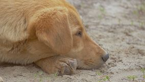 Red dog muzzle closeup of slow motion video stock video footage
