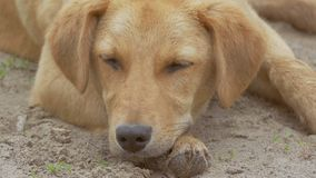 Red dog napping slow motion video. Red dog napping laid her head on his paws slow motion video stock footage