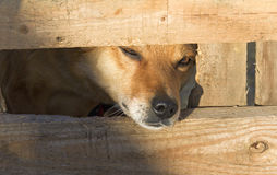 Red dog peeks out between the boards. The shelter for homeless animals Stock Photos