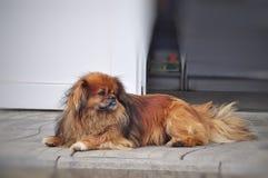 Red dog Pekingese. Fiery redhead very hairy adult Pekingese dog lying on the sidewalk Stock Photos
