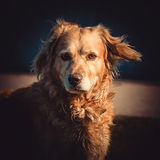 Red dog Stock Photography
