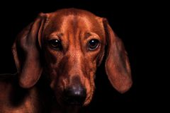Red dog portrait of the year 2018 symbol Royalty Free Stock Images