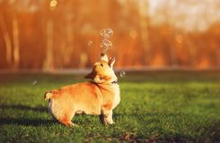 Red dog puppy Corgi walking on green young grass on spring Sunny meadow and catching shiny soap bubbles. Portrait of funny red dog puppy Corgi walking on green stock photography