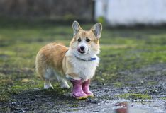 Red dog puppy Corgi walks through puddles in the village in funny rubber boots in the rain. Cute red dog puppy Corgi walks through puddles in the village in stock photos