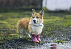 Red dog puppy Corgi walks through puddles in the village in funny rubber boots after a warm rain. Dog puppy Corgi walks through puddles in the village in funny stock images