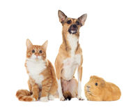 Red dog and red kitten looking Stock Images