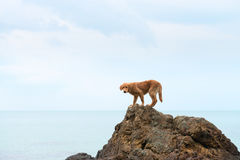 Red dog on a rock against the blue sea Stock Image