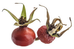 Red dog rose fruits royalty free stock photos