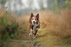 Red dog running in the field. Border Collie on the nature of the morning playing. Walking with pets, active, healthy stock photos