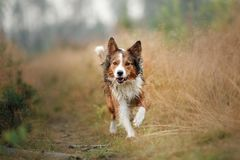 Red dog running in the field. Border Collie on the nature of the morning playing. Walking with pets, active, healthy stock images