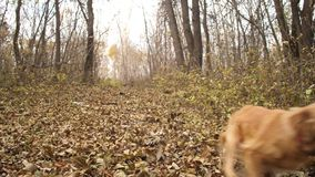Red dog runs along autumn leaves in park.  stock video footage