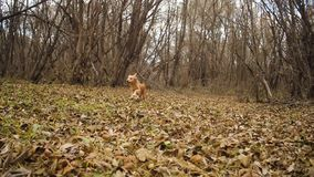 Red dog runs along autumn leaves in park.  stock video