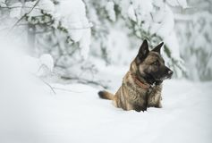 Red dog shepherd sitting on snow in winter forest. On sun day Royalty Free Stock Image