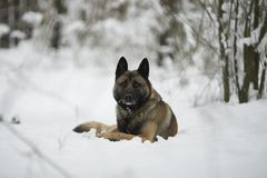 Red dog shepherd sitting on snow in winter forest. On sun day Stock Photo