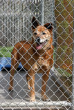 A red dog sits while in his cage at the animal shelter. A red dog sits while in his cage stock image