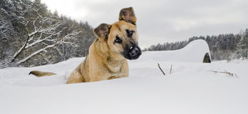 Red dog sits in a snowdrift Royalty Free Stock Images