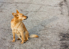 Red Dog Royalty Free Stock Photos