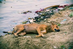 Red dog sleeping by the river Stock Photos
