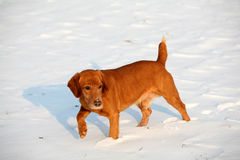 Red Dog on snow Royalty Free Stock Photos