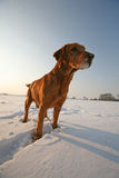 Red Dog on snow Stock Image