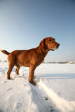 Red Dog on snow Royalty Free Stock Photo