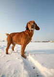 Red Dog on snow Stock Photo