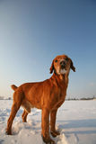 Red Dog on snow Stock Images