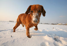 Red Dog on snow Stock Photos