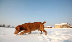 Red Dog on snow Royalty Free Stock Photography