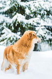 Red dog on the snow Stock Photos