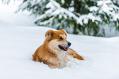 Red dog on the snow Stock Images