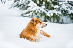 Red dog on the snow Royalty Free Stock Images