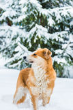 Red dog on the snow Stock Photo