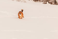Red dog in the snow Royalty Free Stock Images